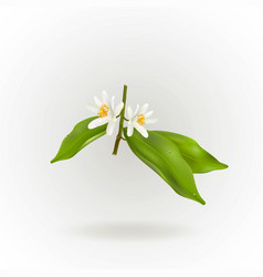 Blossoming citrus plant branch isolated on white vector