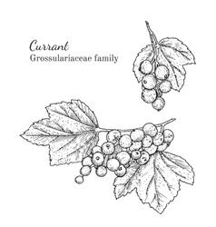 Ink currant hand drawn sketch vector image vector image