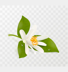 Blooming tangerine white flower with yellow vector