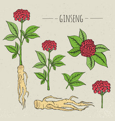 ginseng medical botanical isolated vector image vector image