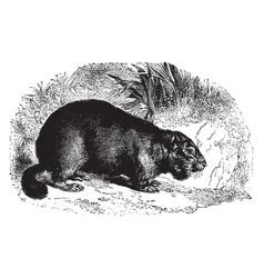 European marmot vintage vector