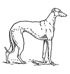 greyhound vintage vector image