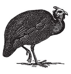 Guinea fowl vintage vector