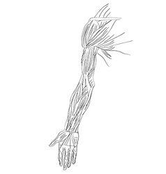 muscles of arm vector image