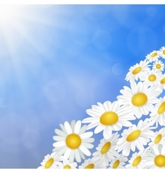 White daisy chamomile flowers vector