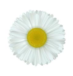 Camomile flower vector