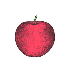 ripe apple hand drawn isolated icon vector image