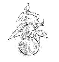Mandarin hand drawing vector