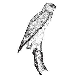 Marsh hawk vintage vector
