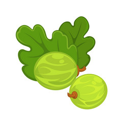 Two green gooseberries with leaves isolated on vector