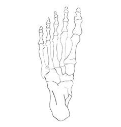 below view foot bones vector image vector image