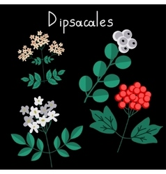 Dipsacales plant order vector image vector image