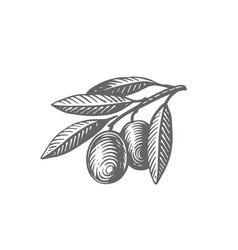 olives branch with leaves vintage engraving vector image
