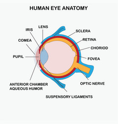 Anatomy of human eye vector