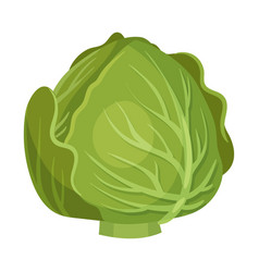 Head cabbage isolated on white background vector