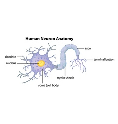 Human Neuron Anatomy vector image