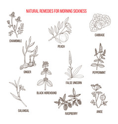 Best herbal remedies for morning sickness vector