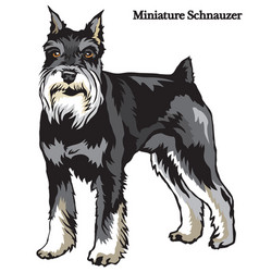 Miniature schnauzer vector