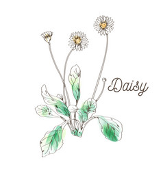 daisy flower painting on white background vector image