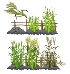 Growth stages of sugarcane agriculture vector