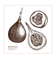 sweet granadilla vector image