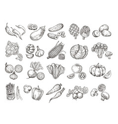 sketch vegetables vintage hand drawn garden vector image