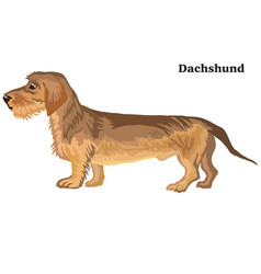 Colored decorative standing portrait of dachshund vector