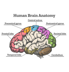 Human brain anatomy diagram vector