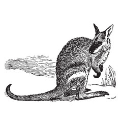 Agile wallaby vintage vector