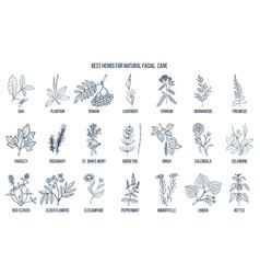 Best medicinal herbs for natural facial care vector