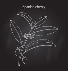 Spanish cherry mimusops elengi or medlar bullet vector