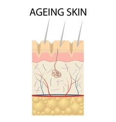 Old skin anatomy vector image vector image