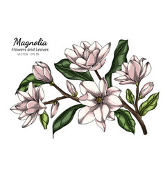 White magnolia flower and leaf drawing with line vector