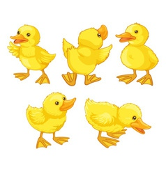 Duckling chicks vector image