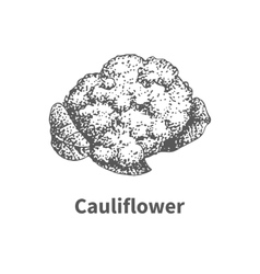 hand-drawn cauliflower vector image