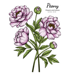 Pink peony flower and leaf drawing with line art vector