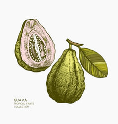 Guava hand drawn vector