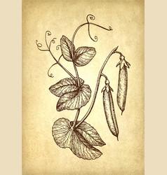 ink sketch of pea vector image