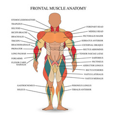 Muscle anatomy vector
