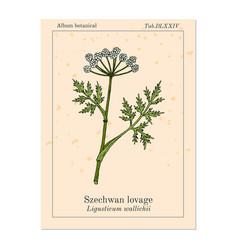 Szechwan lovage ligusticum wallichii medicinal vector