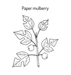 Paper mulberry broussonetia papyrifera medicinal vector