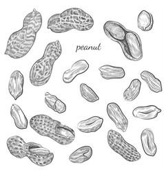 Peanut hand drawn vector