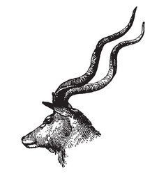 Head of kudu vintage vector