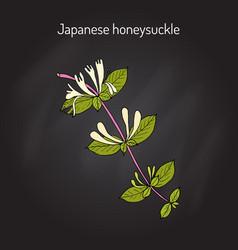 japanese honeysuckle lonicera japonica medicinal vector image