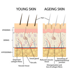 young and older skin vector image vector image