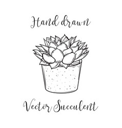 decoration plant succulent polyphilla in a vector image