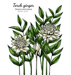 white torch ginger flower and leaf drawing vector image