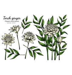 set white torch ginger flower and leaf drawing vector image