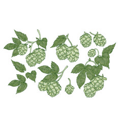 collection of elegant botanical drawings of hop vector image