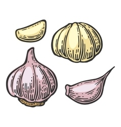 Garlic with slices isolated on white background vector